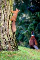 Red squirrel and male pheasant in Highland Perthshire